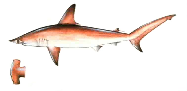 Description scalhammer for Triple tail fish taste
