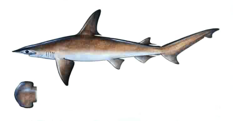 Description bonnethead for Triple tail fish taste
