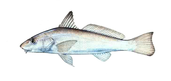 Description gulfking for Whiting fish florida