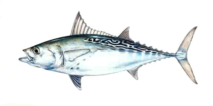 Description litltunny for Bonita fish recipes