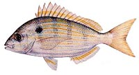 Description: pinfish