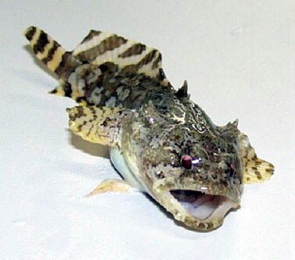 Gulf toadfish - Opsanus beta