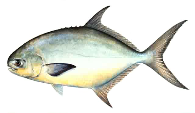 The blue c for Pompano fish good to eat