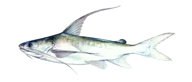 The blue c for Triple tail fish taste