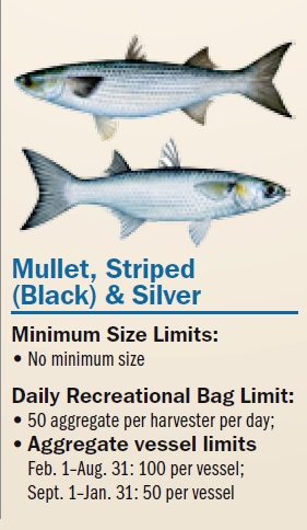 The blue c for Eating mullet fish