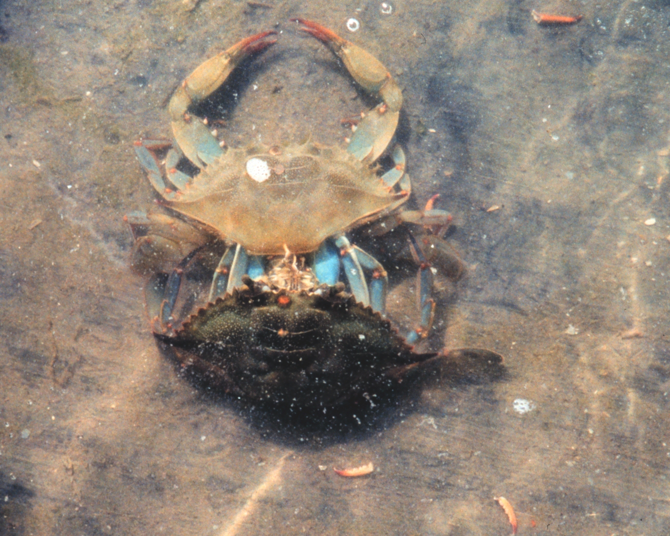 Blue crab for bait from fishin franks for Blue crab fishing